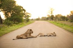 African Lions lying in a road. In a South African Game Reserve stock photo