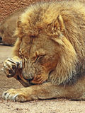 African Lions. Male grooming face close up detail stock images