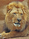 African Lions. Male looking right close up detail royalty free stock photo