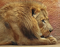 African Lions. Male looking right close up detail stock photo