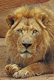 African Lions. Male looking at viewer close up detail stock photo
