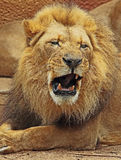 African Lions. Male with open mouth close up detail stock photos