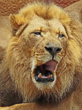 African Lions. Male yawning close up detail stock photo