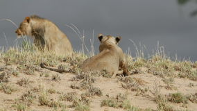 African lions stock footage