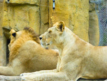 African lions resting Royalty Free Stock Image