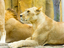 African lions resting Stock Photography