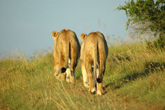 African lions in savanna. Two female lions walking away in a game park in South Africa Stock Photo