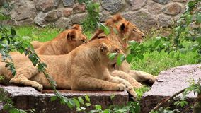 African Lions. Three african lions in zoo