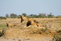 African Lions On Watch Stock Photo