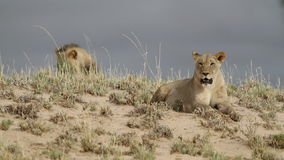 African lions stock video footage
