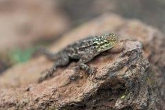 African Lizard Stock Image