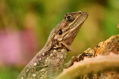 African lizard Stock Photos