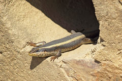 African lizard known as striped skink, Trachylepsis striata Stock Photo