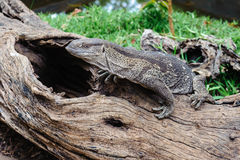 African lizard Royalty Free Stock Images