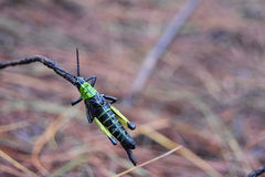African Locust macro portrait colours. Filip Locust portrait royalty free stock photography