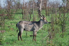 African lone Waterbuck Stock Image