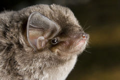 African Long-Fingered Bat (Miniopterus africanus) Royalty Free Stock Image