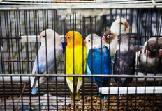 African Lovebirds (Agapornis) on pet market Stock Images