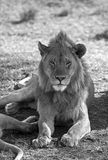 African majestic lion. Black and white male lion taken in Serengeti national reserve, Tanzania Stock Photos