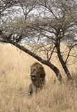 African majestic lion. Male lion taken in Serengeti national reserve, Tanzania Stock Images