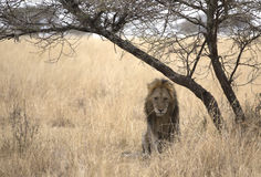 African majestic lion. Male lion taken in Serengeti national reserve, Tanzania Royalty Free Stock Images