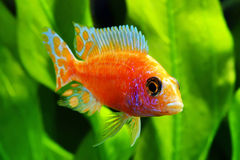 African Malawi  Cichlid Stock Images