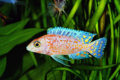 African Malawi  Cichlid Royalty Free Stock Images