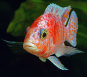 African Malawi  Cichlid Stock Image