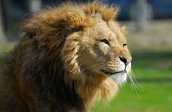 African male lion Royalty Free Stock Photo