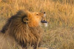 African male lion. Botswana, Africa Royalty Free Stock Photos