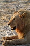 African Blood Soaked Male Lion Stock Photography