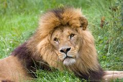 African male lion. Closeup of male African lion in grasslands Royalty Free Stock Photo