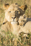 African Male Lion and Cub (Panthera leo) South Africa Royalty Free Stock Images