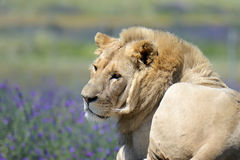 African male lion with flower background. At masi mara national park Stock Photos