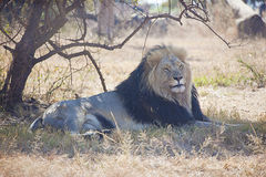 African Male Lion Royalty Free Stock Images