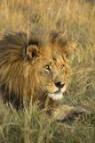 African male lion portrait. Portrait of a male African lion Panthera leo, Botswana, Africa Stock Image