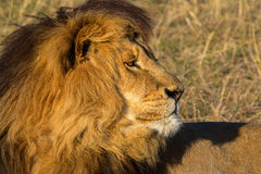 African male lion Stock Image