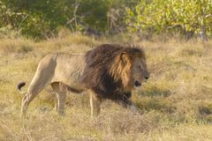 African lion walking Royalty Free Stock Photos