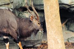 African male Nyala Stock Image