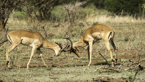 African mammals Royalty Free Stock Photography