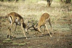 African mammals Stock Photo