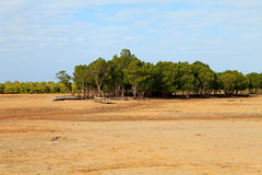 African Mangrove trees in ebb Royalty Free Stock Photos