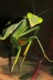 An African Mantis (Sphodromantis lineola) Stock Image