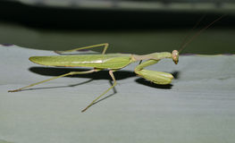 African Mantis Royalty Free Stock Photo