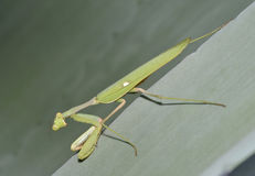 African Mantis Stock Photos