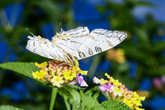 African map butterfly, ranomafana stock image