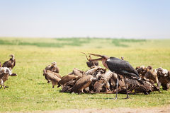 African marabou feeding among the vultures flock Stock Photo