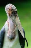African marabou stork - (Leptoptilos crumeniferus) Stock Images