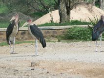 African Marabou Storks Royalty Free Stock Photography