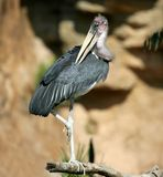 African Marabu, Leptoptilus crumenifer. Stock Photo